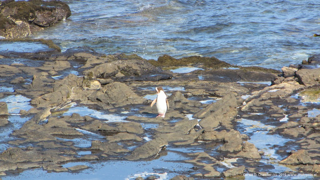 Mother penguin coming ashore
